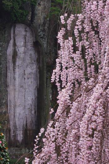 大野寺枝垂れ桜4月