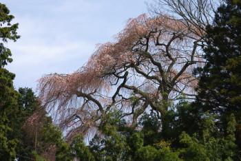 大照寺跡の枝垂れ桜