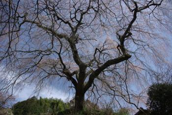 大照寺跡の枝垂れ桜1