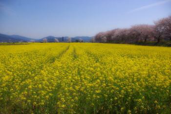 藤原京ハナナと桜4月