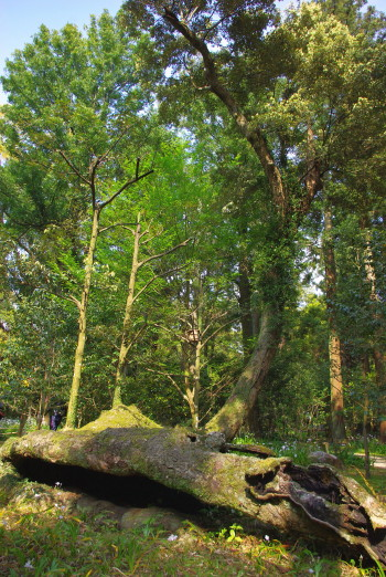 イチイガシの倒木2