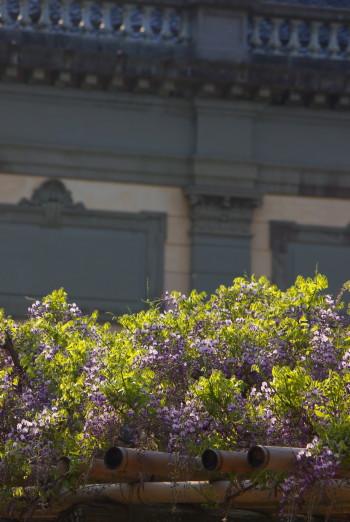 国立博物館の藤1