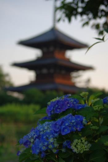 発起寺紫陽花
