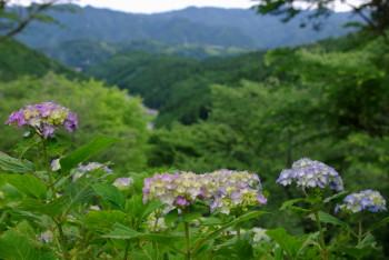 紫陽花ロード0