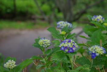 吉野紫陽花2