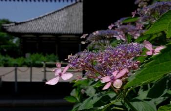 元興寺紫陽花