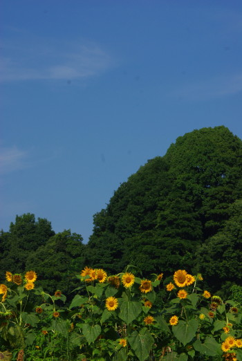 明日香向日葵