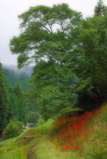 仏隆寺桜1