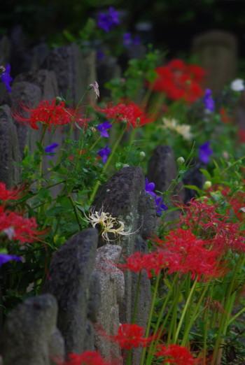元興寺彼岸花と桔梗10月