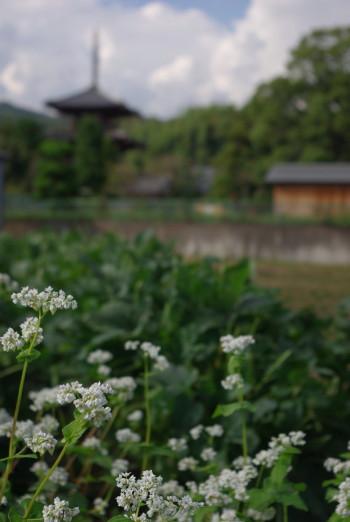 法輪寺と蕎麦の花