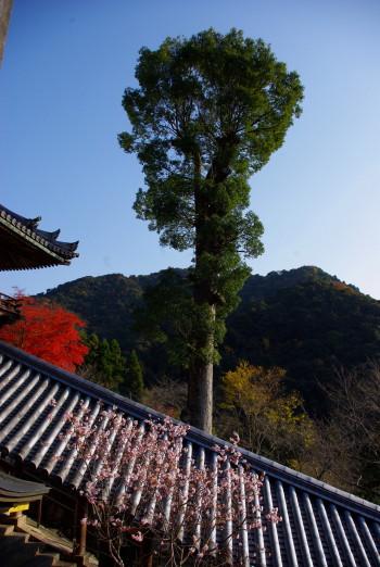 長谷寺桜と杉