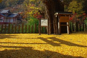 銀杏落ち葉