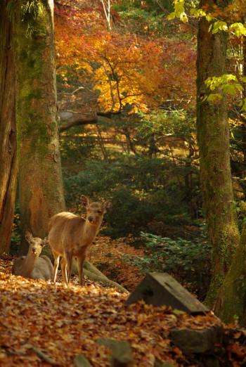 奈良公園紅葉と鹿12月