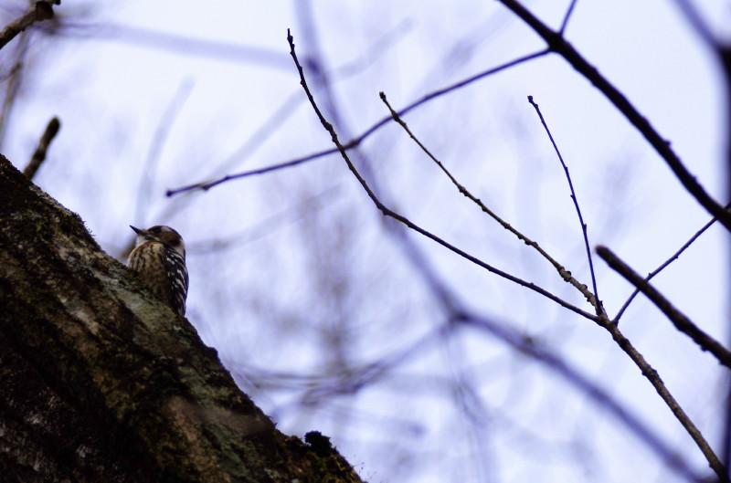 飛鳥 コゲラ