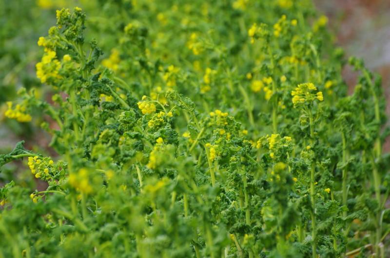 飛鳥 菜の花