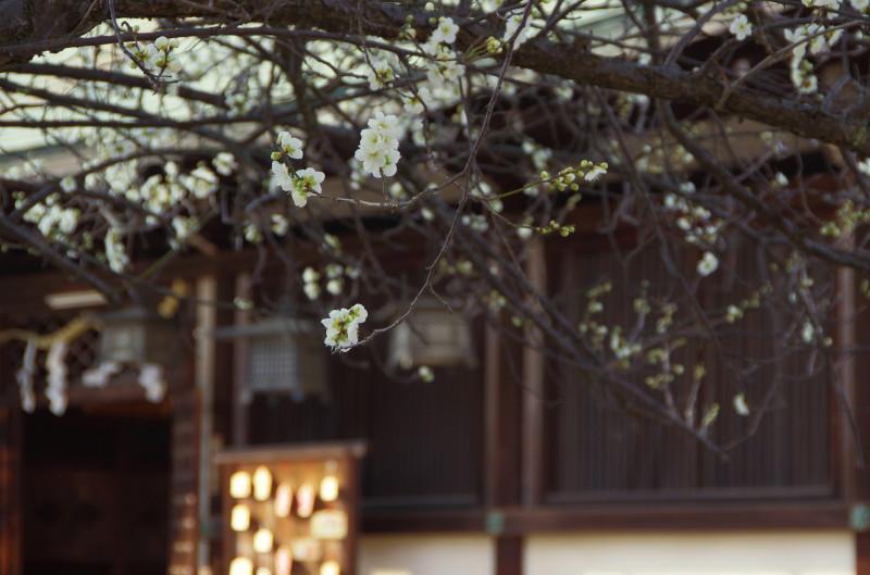 柳沢神社 梅