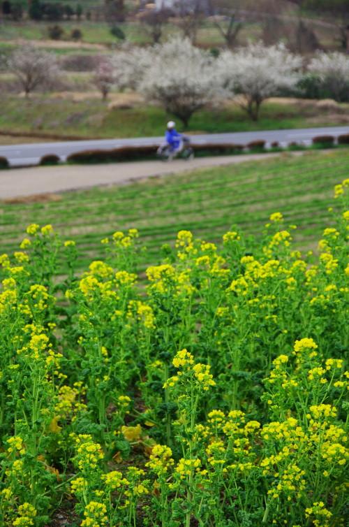 菜の花 甘樫の丘