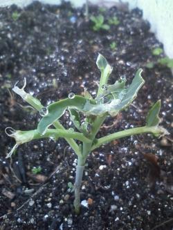 2-2茎ブロッコリー