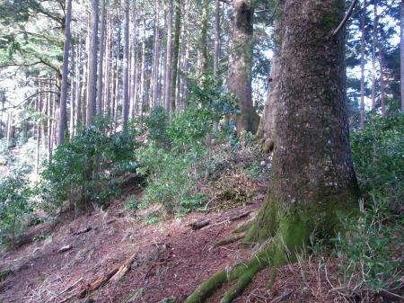 尾根にモミの大木が続く