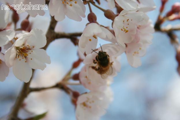 IMG_3795桜3