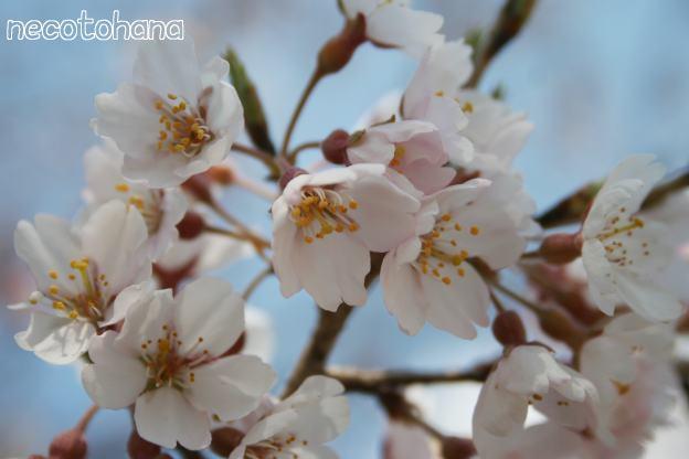 IMG_3792桜2