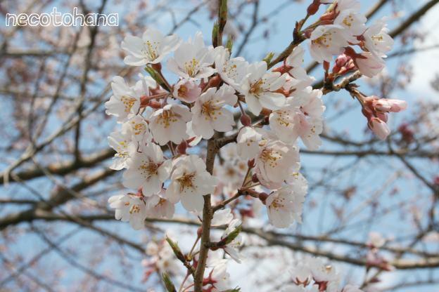 IMG_3791桜1