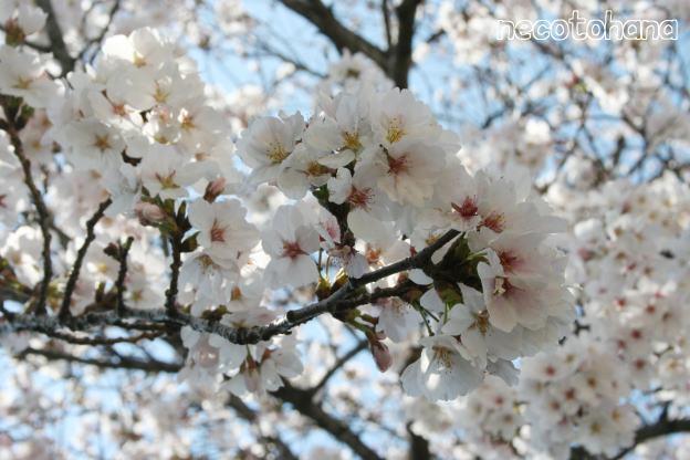 IMG_4013桜2
