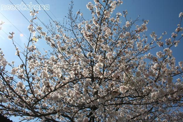 IMG_4012桜1