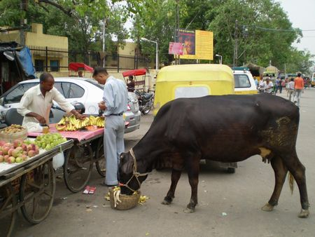 cow-banana.jpg