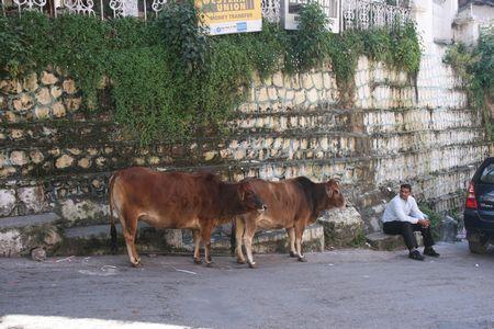 cow-mussoorie.jpg