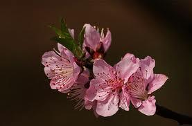 peach-flower13.jpg