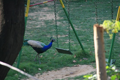 peacock040313.jpg