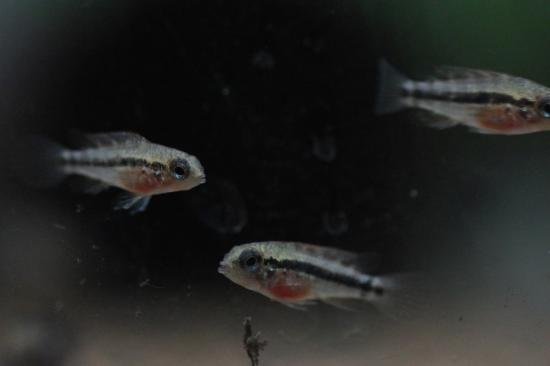 ミウア.ニウア稚魚2