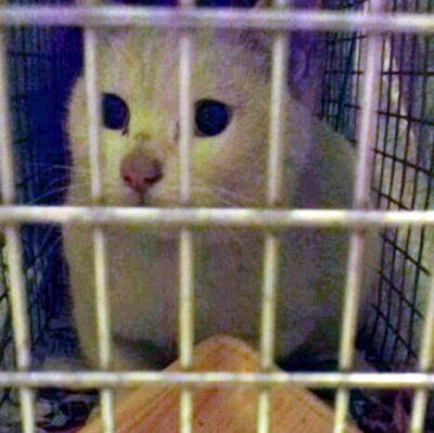 T通りの捕獲、手術済みの白猫さん