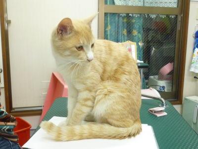 迷い猫?茶白♂中猫
