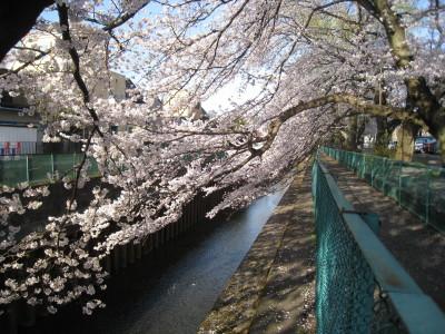 h23,桜2