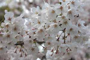 桜さくブログ1