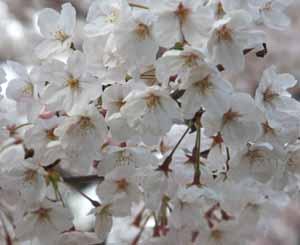 桜さくブログ2
