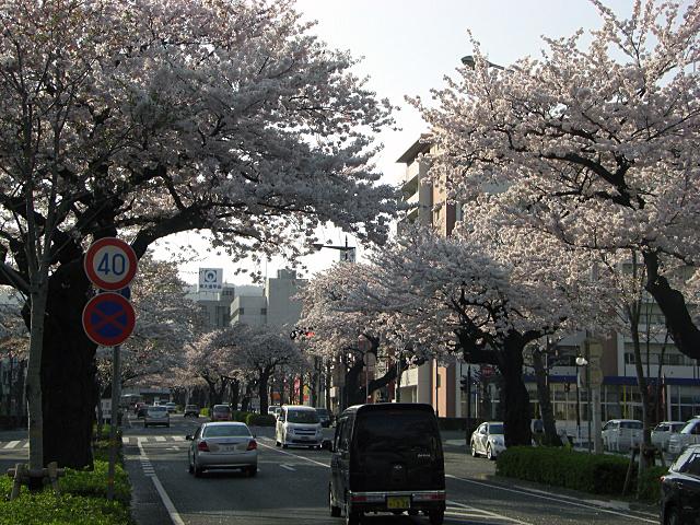 2011平和通り桜
