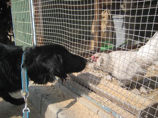 鶏とニーナ。