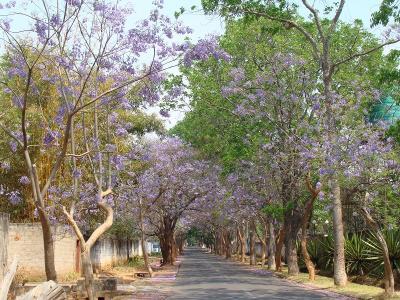Jacaranda8_Ngumbo2