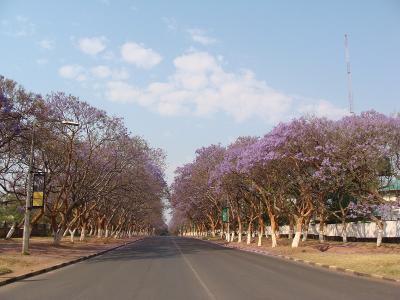 Jacaranda1_Nasser1.jpg