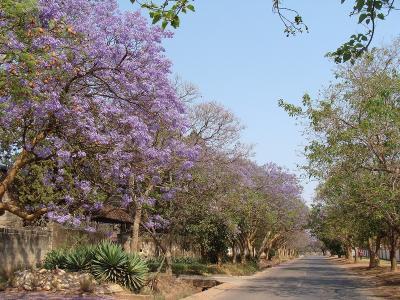 Jacaranda2_Lubu1.jpg