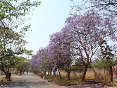 Jacaranda2_Lubu2.jpg