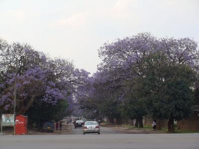 Jacaranda3_Lubambe1.jpg