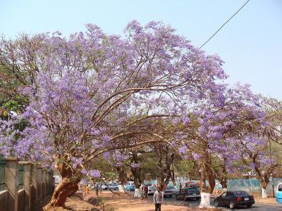 Jacaranda5_UTH1.jpg