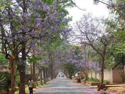 Jacaranda8_Ngumbo.jpg