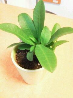 新入りのミニ観葉植物