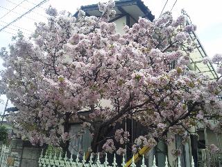 今の時期満開になる桜