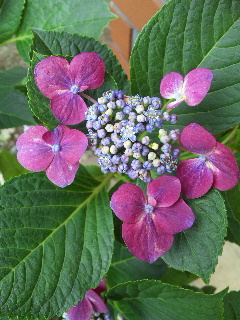 頑張れ☆紫陽花①